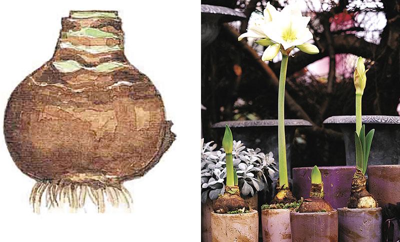 drivning av amaryllis från lök till blomning i olika stadier