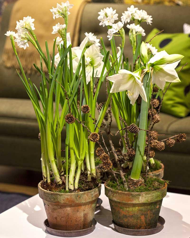 Samplantering-tazetter-amaryllis-advent
