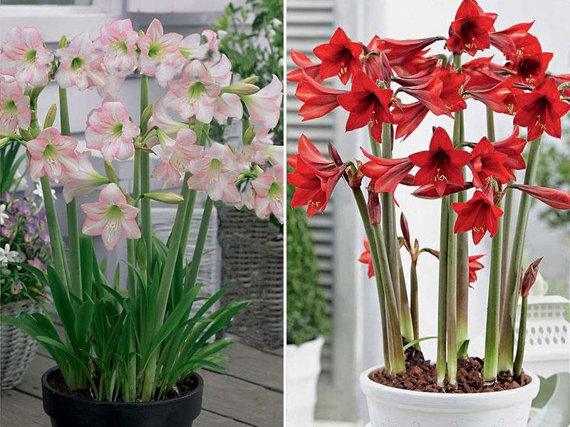 amaryllis sonatini pink och red rascal