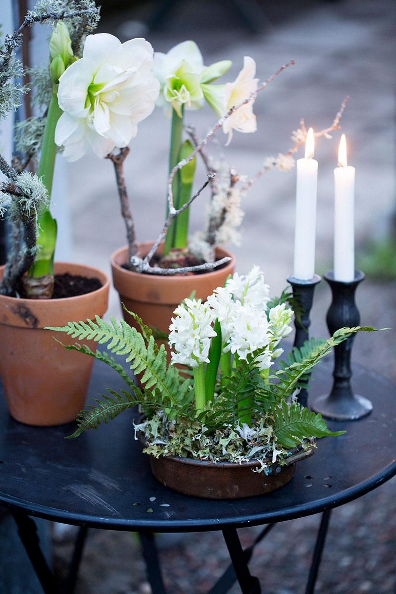 amaryllis utomhus i advent vid entrén