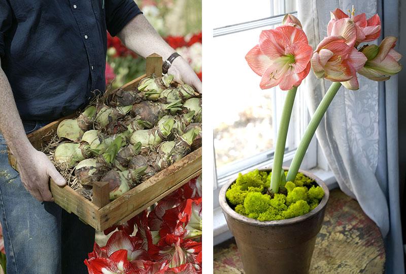 amaryllis i odling och på fönsterbrädan