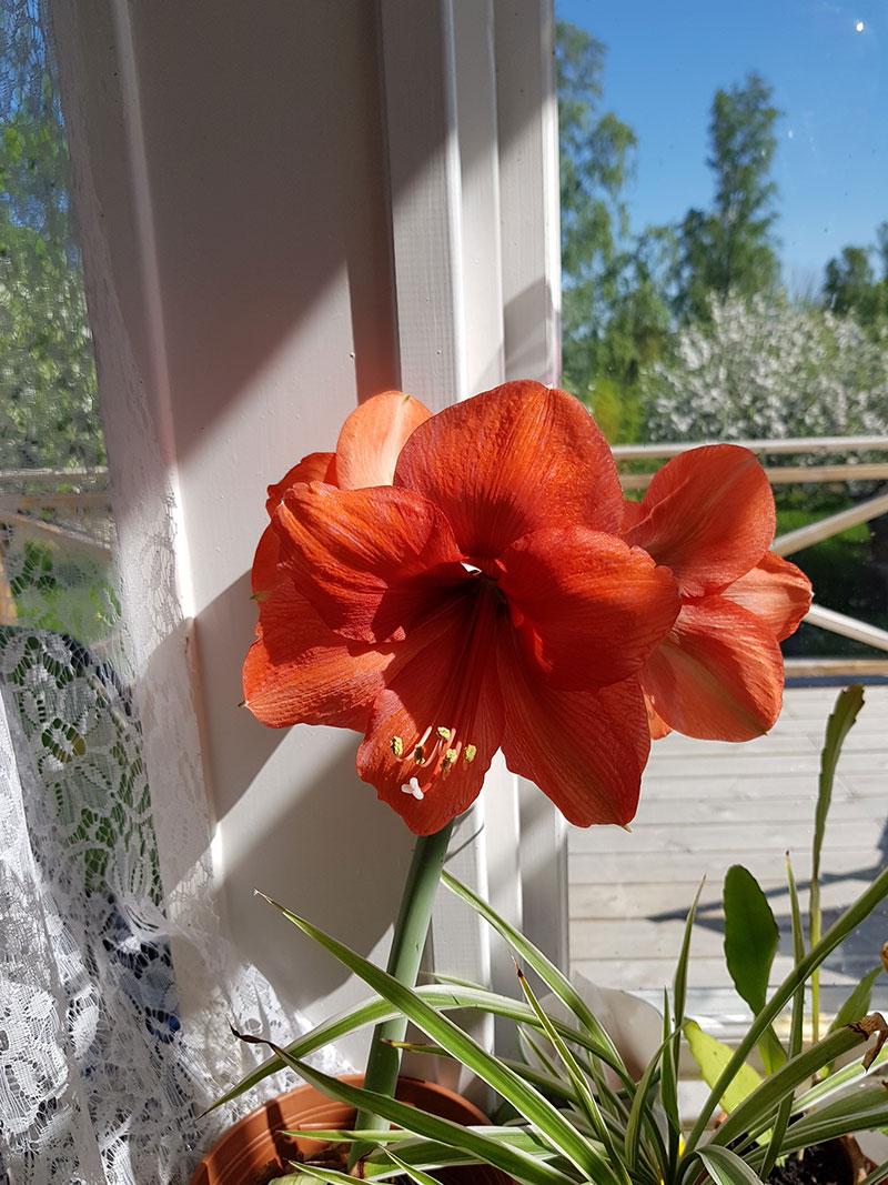 Stora amaryllisblomma som blommar på våren