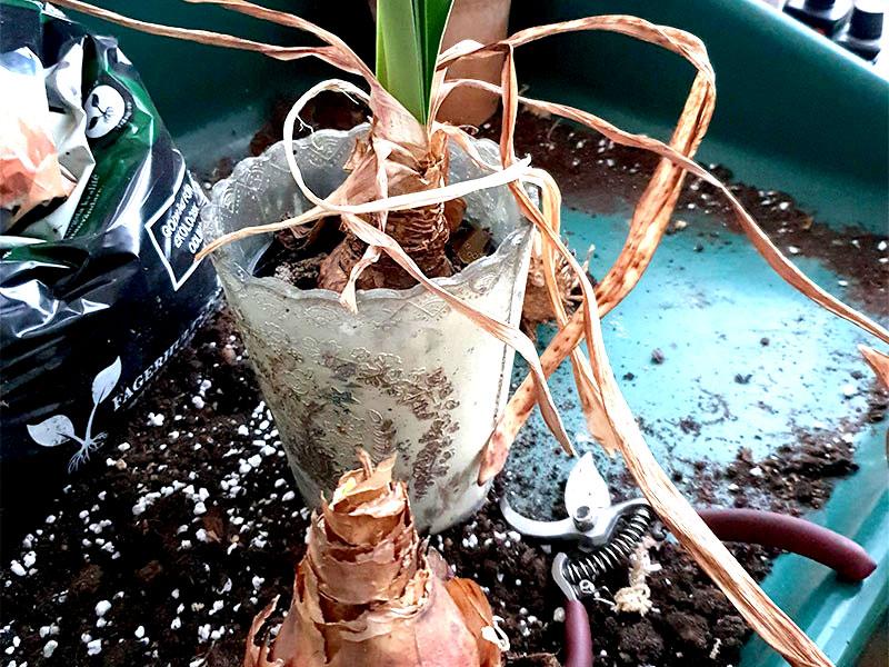 Amaryllis med nedvissnade blad klar för omplantering
