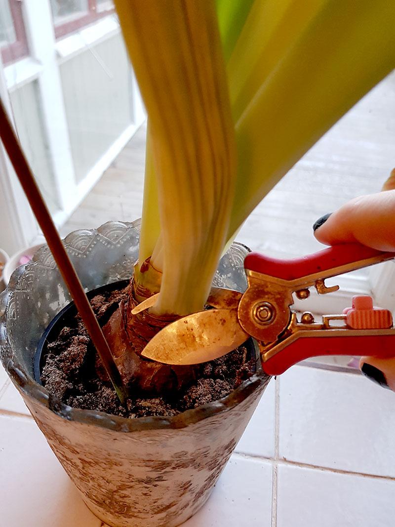 Nedklippning av amaryillisstjälk efter blomningen