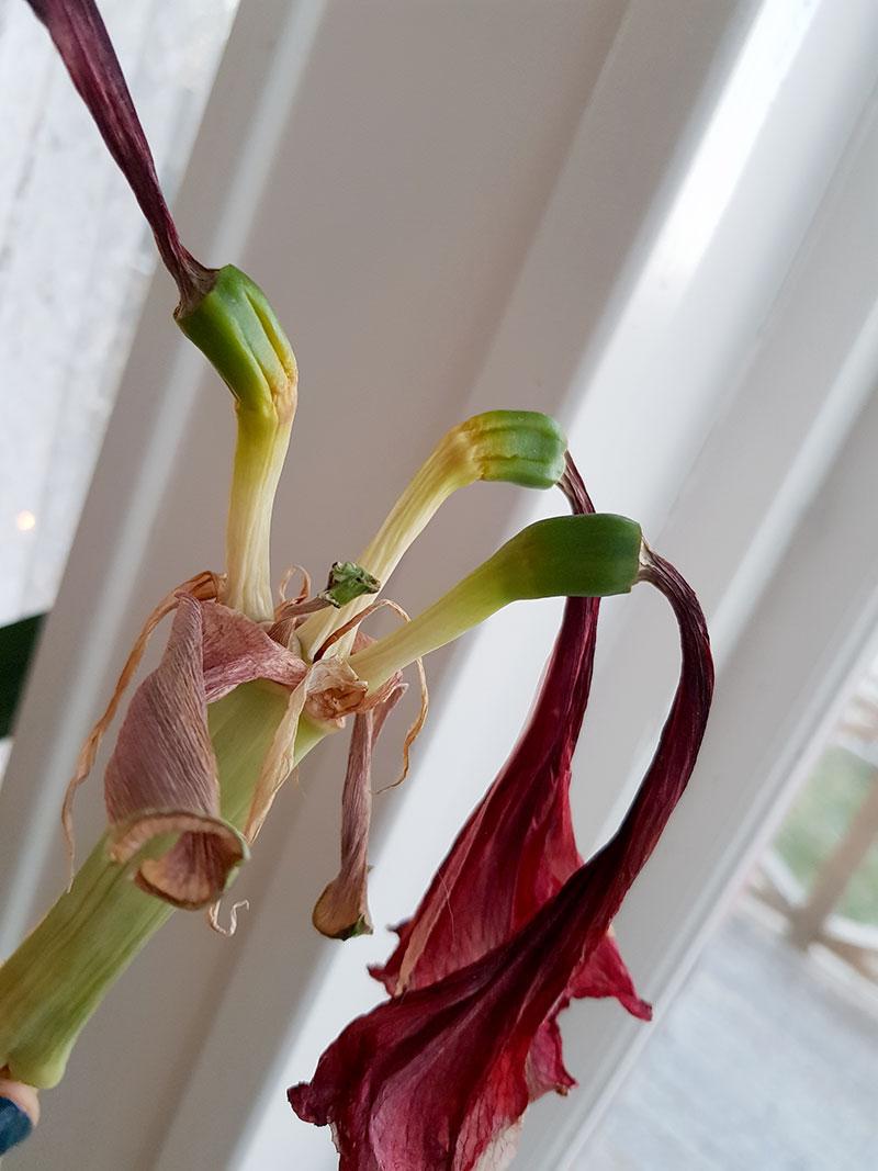 Överblommad amaryllis