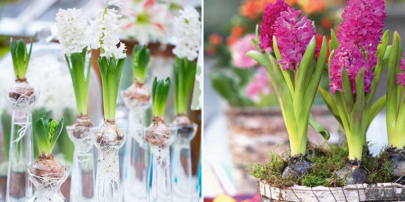 drivning av hyacinter till jul