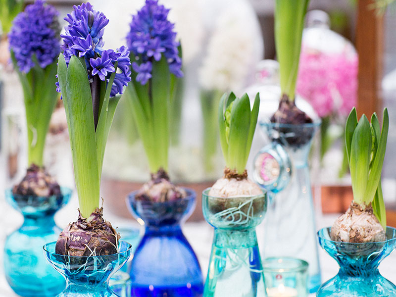 Hyacinter i hyacintglas