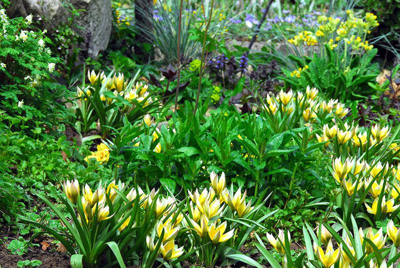 Tulipa dasystemon tarda i vild plantering