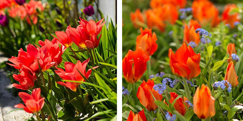 Tulpan Fusilier och Tulipa vvedenskyi