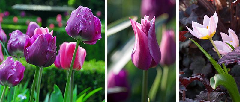 Tulpan Negrita Blade och Lilac Wonder