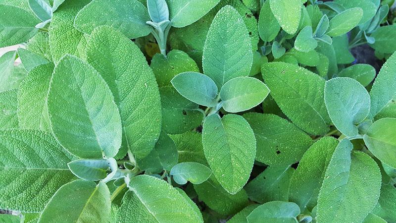 Saliva odlad inomhus