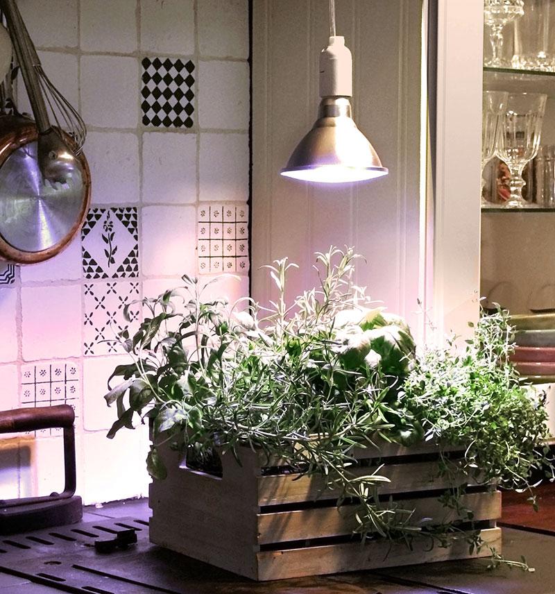 Kryddörter inomhus med växtlampa Primula