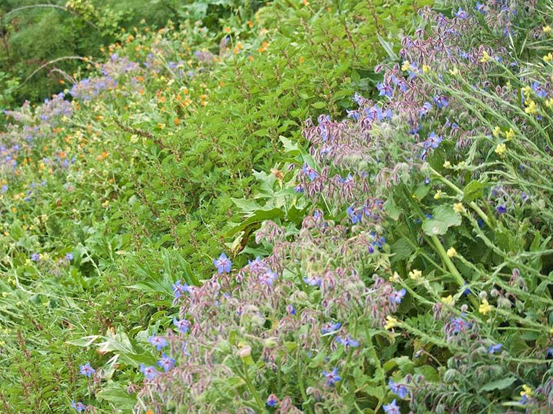 Gurkört odlad i en slänt i trädgård