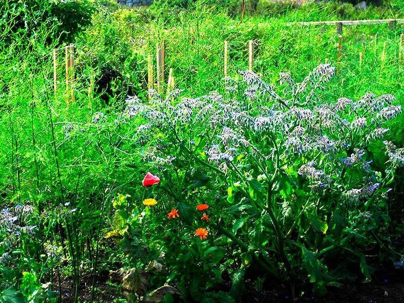 Gurkört som gröngödsling i köksträdgård