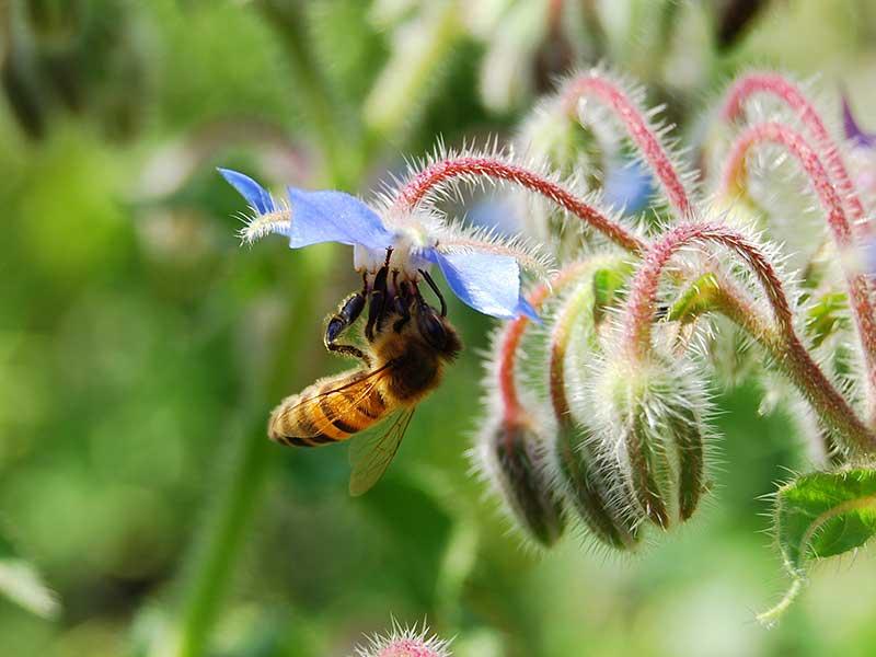 Pollinering av gurkört