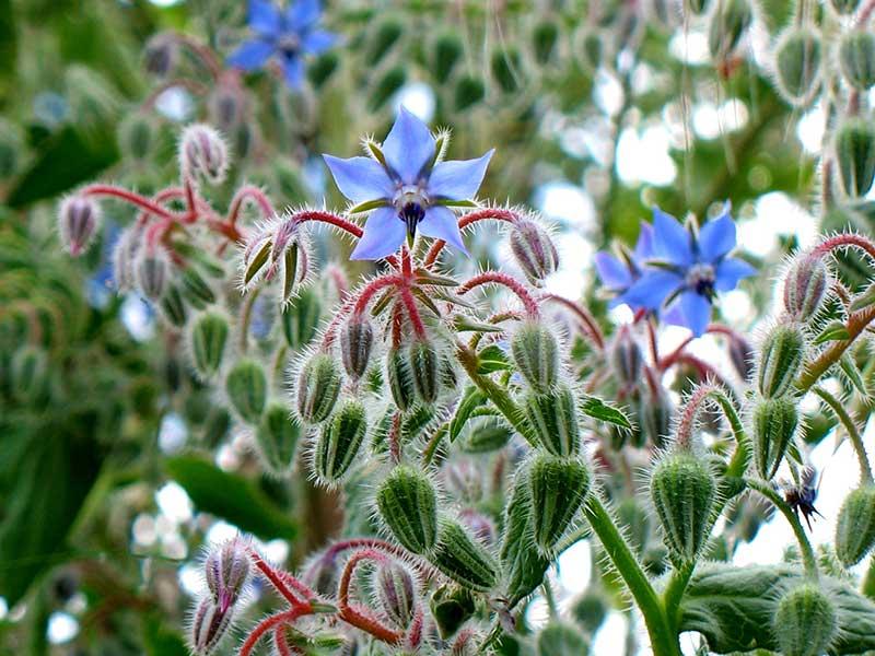 Gurkört blomma och knoppar