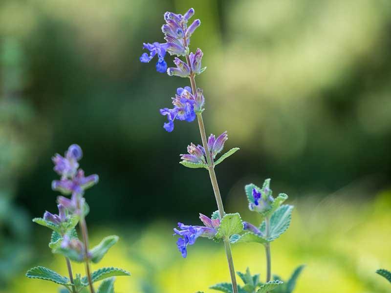 Kattmynta med blå blommor
