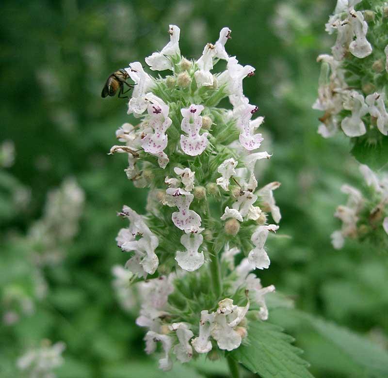 Kattmynta 'Citriodora' med vita blommor