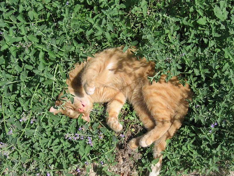 Kattmynta i rabatt med katt