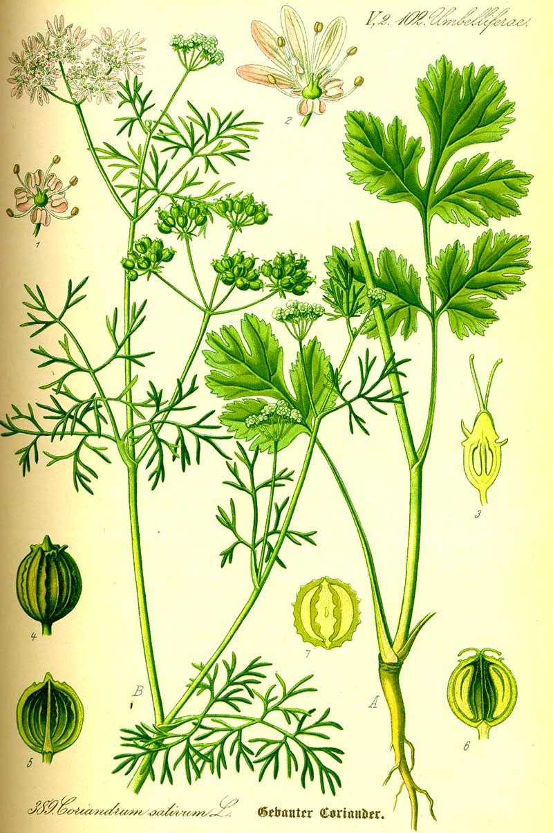Botanisk illustration av koriander