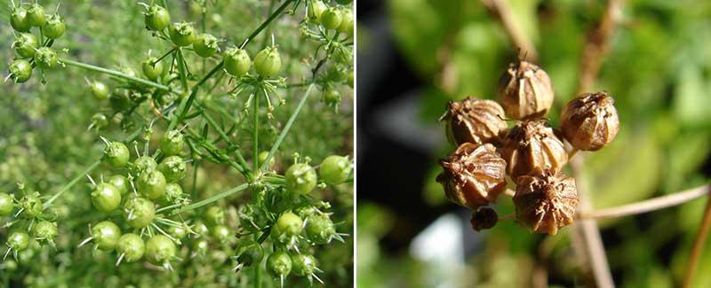 Skörd av mogna frökapslar av koriander