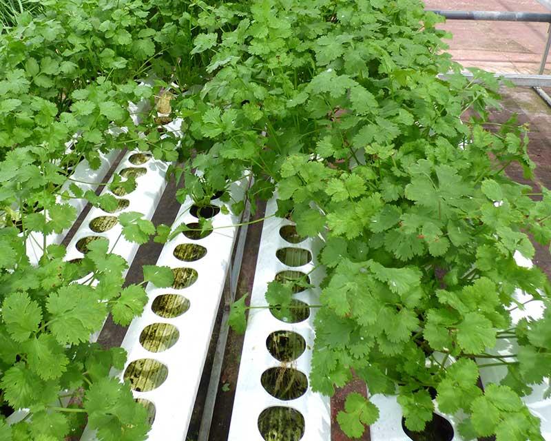 Odling av koriander i hydrokultur