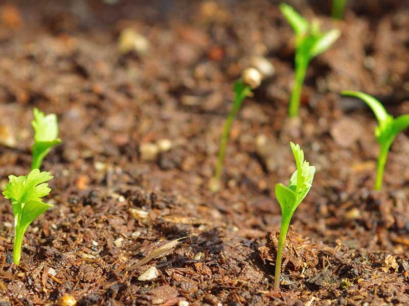Direktsådd koriander groddplanta