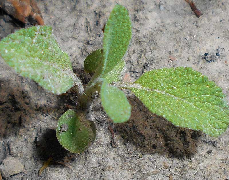 Groddplanta av salvia
