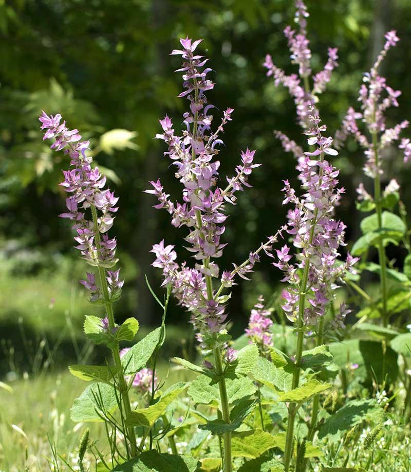 Blommande muskatellsalvia