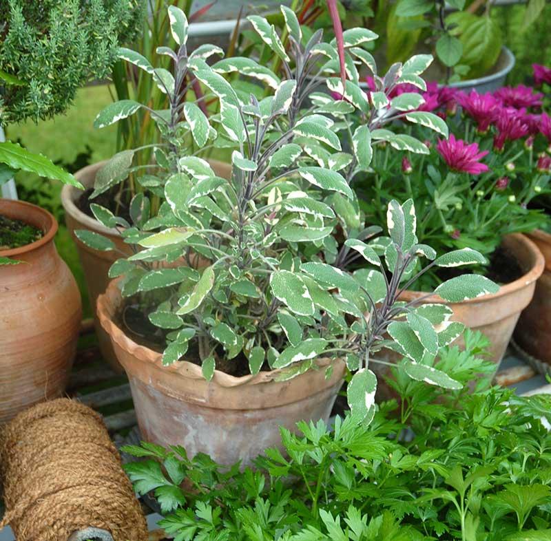 Salvia Tricolor I kruka