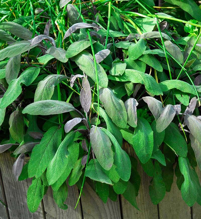 Mörkbladig kryddsalvia Purpurascens