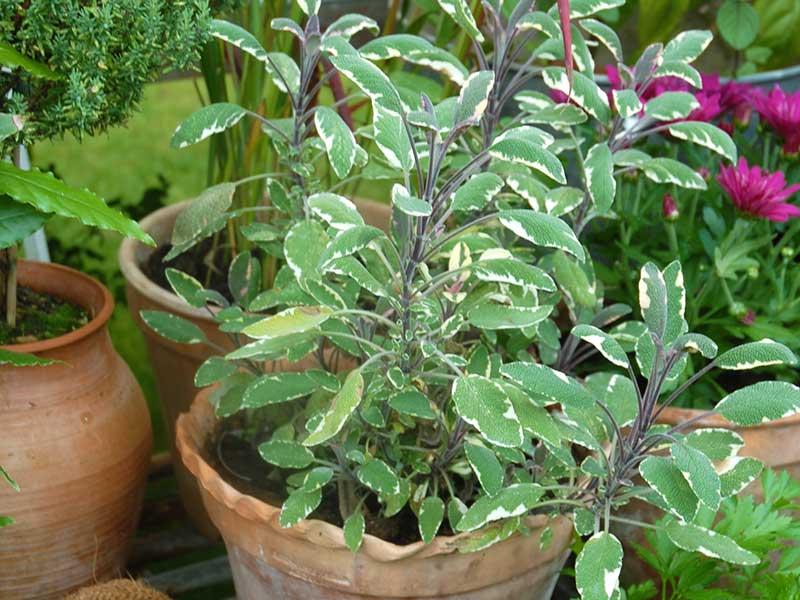 Odling av kryddsalvia Tricolor I kruka