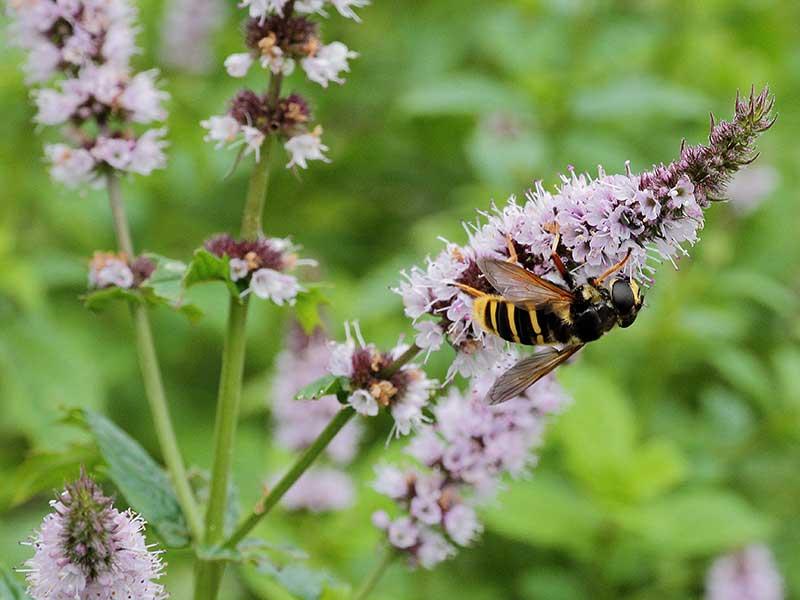 Bi som pollinerar blomma av grönmynta
