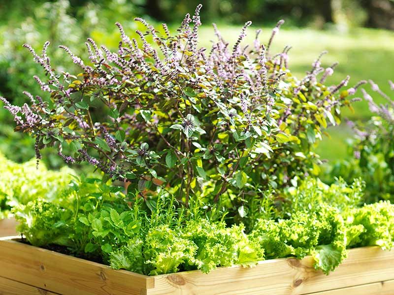Mynta odlad i odlingslåda pallkrage