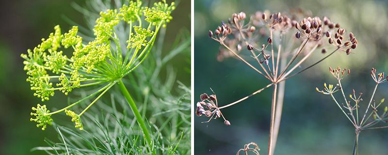 Dillkrona av blomma och frö för självsådd av dill