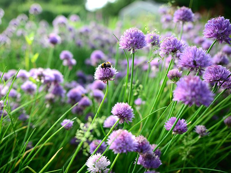 Blommande gräslök med pollinerande insekt