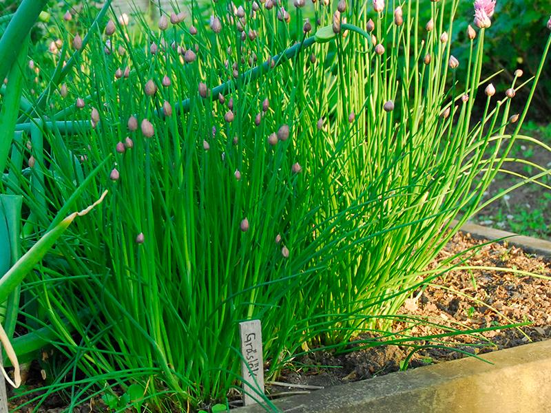 Odling av gräslök i pallkrage