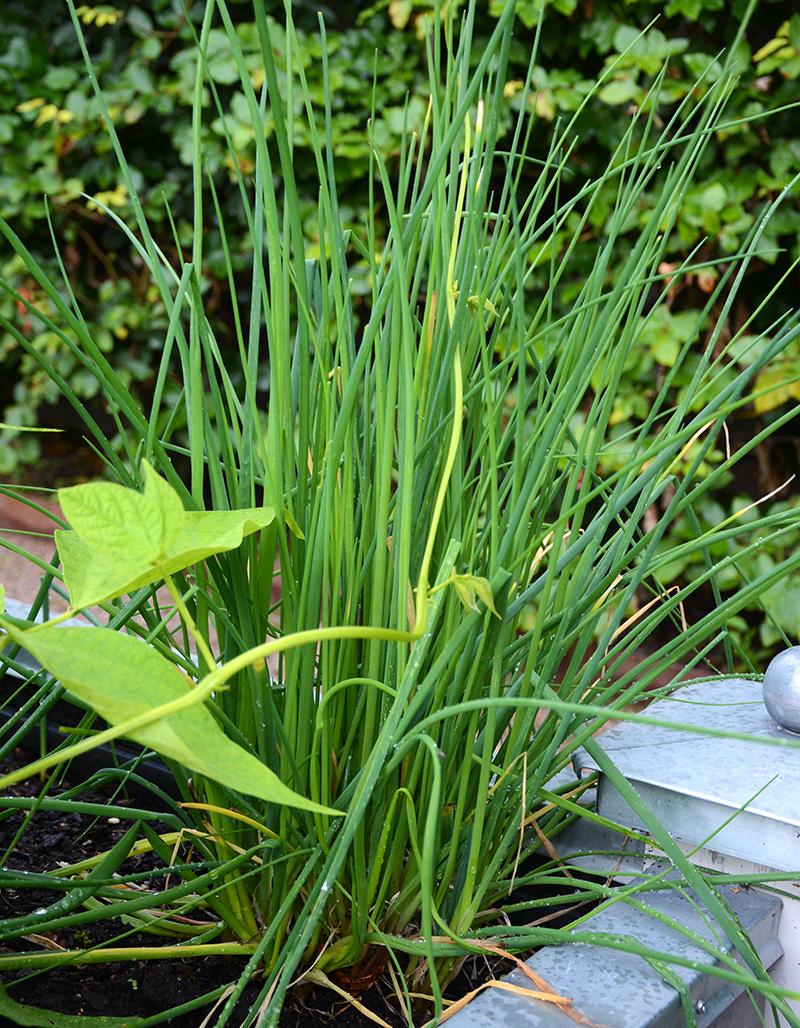 Gräslök odlad i pallkrage och upphöjd bädd