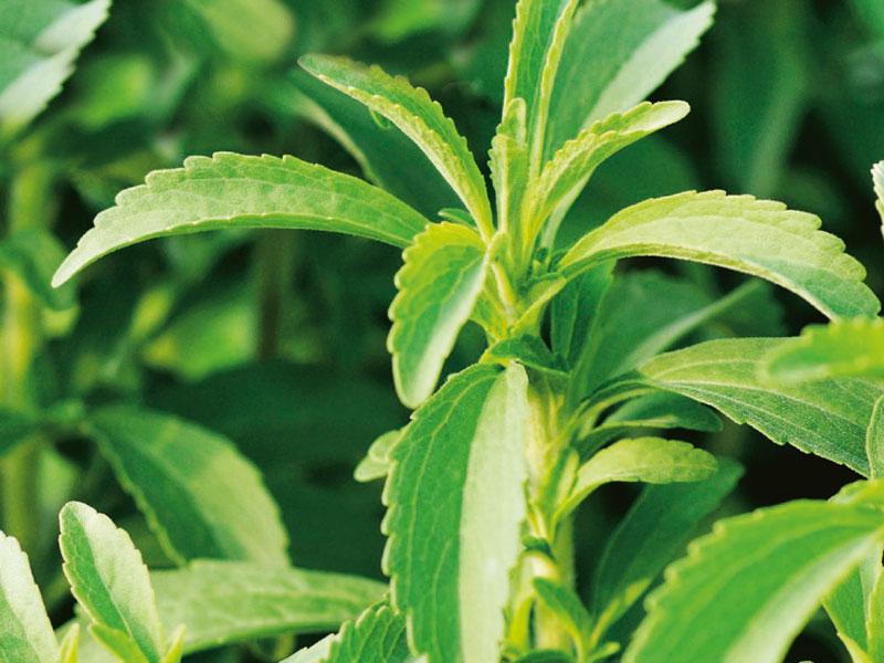 Stevia sötflockel