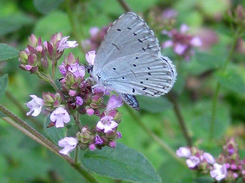 Oregano med blomma som pollineras av fjäril blåvinge