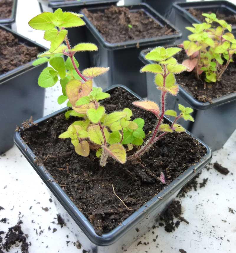 Frösådd oregano planta