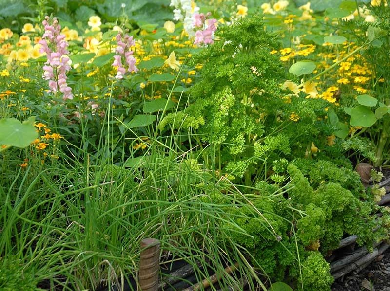 Persilja samordnad med piplök och blommor i rabatt