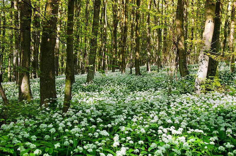 Blommande ramslök i bokskog på Österlen