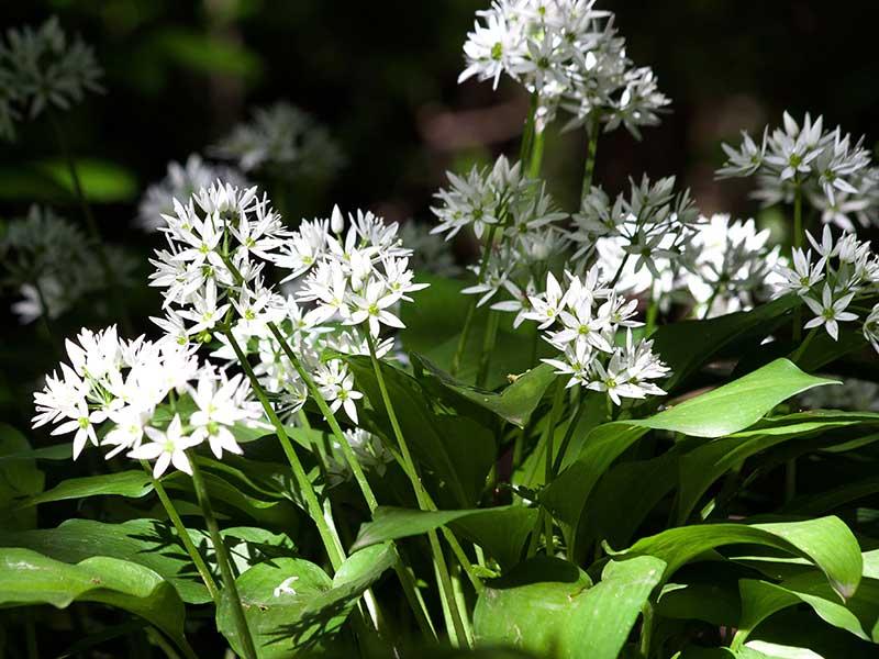 blommande ramslök i trädgård