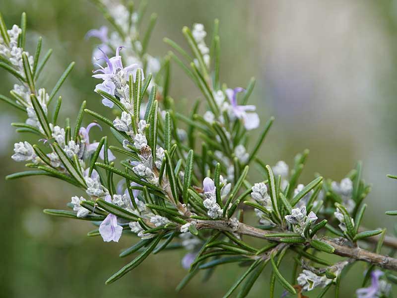 Rosmarin blomma