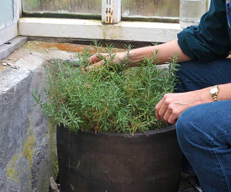 Övervintring av rosmarin i växthus