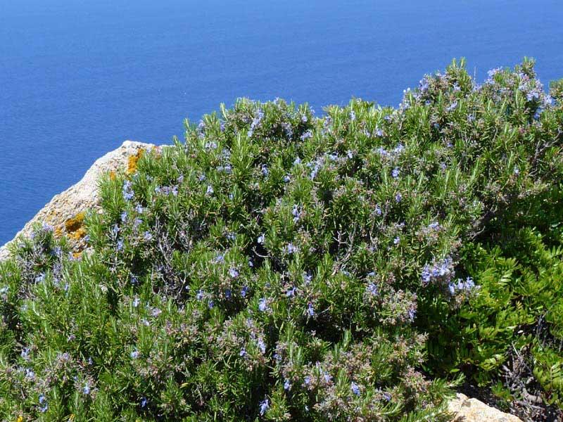 Vildväxande rosmarin på Korsika