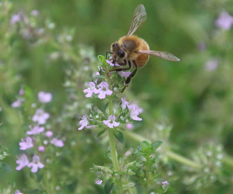 Pollenrik timjanblomma med bi