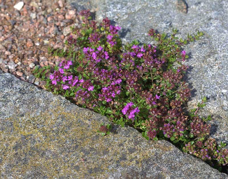 Timjan som växer mellan stenplattor
