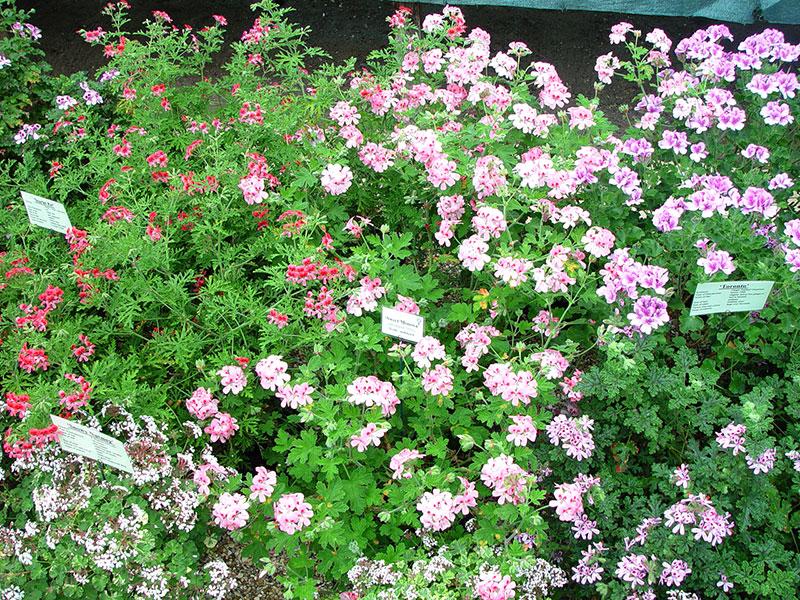 Olika sorters doftpelargoner i blom